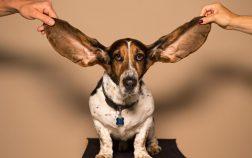 hearing_dog